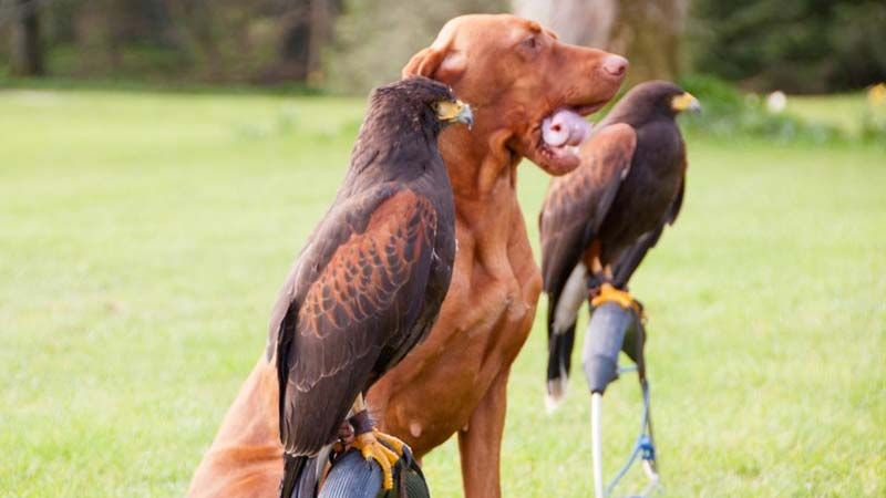 Falconry Attractions in Mayo