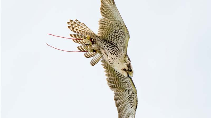 how to get into falconry
